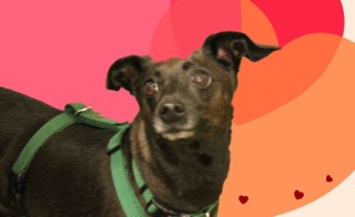 Baxter, a 7-year-old mix is available for adoption. (Courtesy photo).