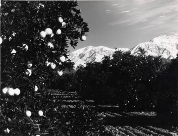 A citrus grove with Mount Baldy (Mt. San Antonio) in the background, date unknown. (Photo courtesy the Pomona Public LIbrary).