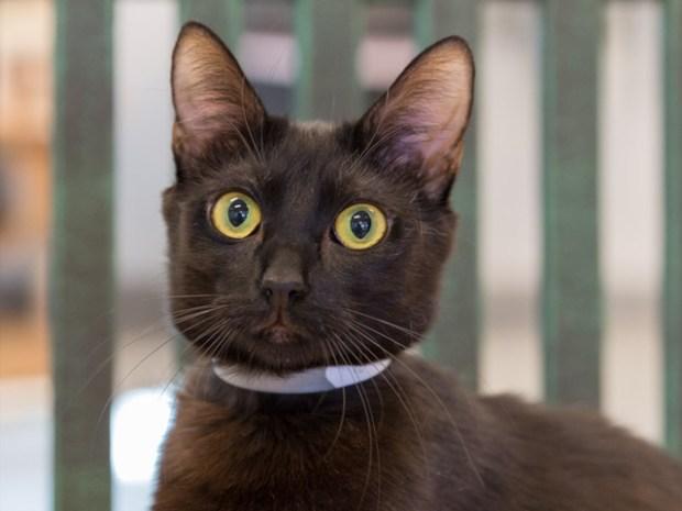 Nina is a domestic short hair cat available from spcLA's Pico Rivera shelter. (Courtesy photo)