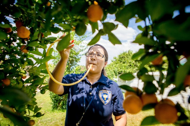 California Department of Food and Agriculture technician Maritza Paredes uses an aspirator to collect adult Asian citrus psyllid samples from a tangerine tree in the backyard of a Riverside home on Aug. 1, 2017. The insect transmits citrus greening disease, which has been found in residential areas of Riverside, Los Angeles and Orange counties. UC Riverside researchers have completed a study that is expected to aid the fight against the disease. (File photo by Watchara Phomicinda, The Press-Enterprise/SCNG)