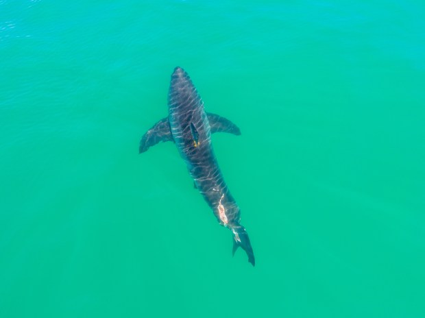 Shark sightings off the local coasts have had beachgoers worried about getting in the water. Matt Larmand, of Capo Beach, took this image in November of a shark just offshore from his home.