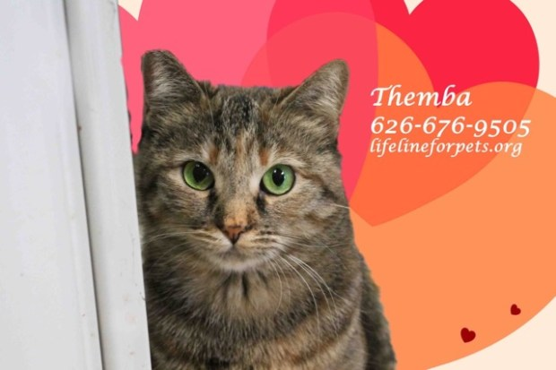 Themba the cat needs a foster family to help shake her shyness. (Courtesy Lifeline for Pets)