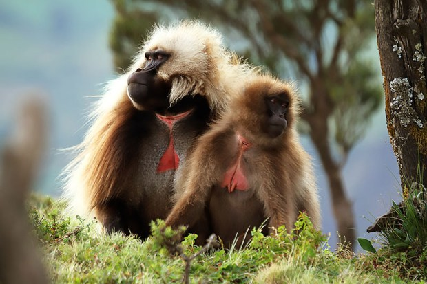 The Guassa Gelada Research Project, a long-term study of a wild population of gelada monkeys, is co-directed by CSUF faculty members Peter Fashing and Nga Nguyen. (iStock photo)