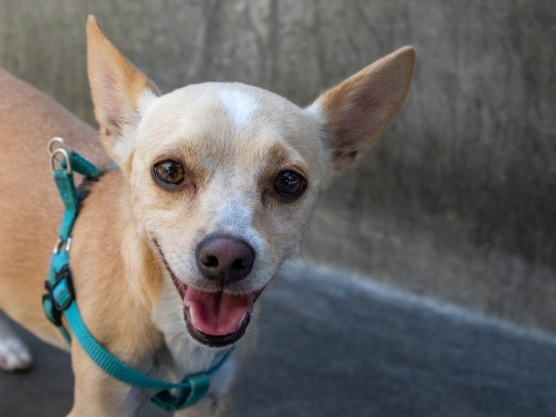 Max (No. A460360) is a 4-year-old Chihuahua mix available from the Pasadena Humane Society. (Courtesy photo)