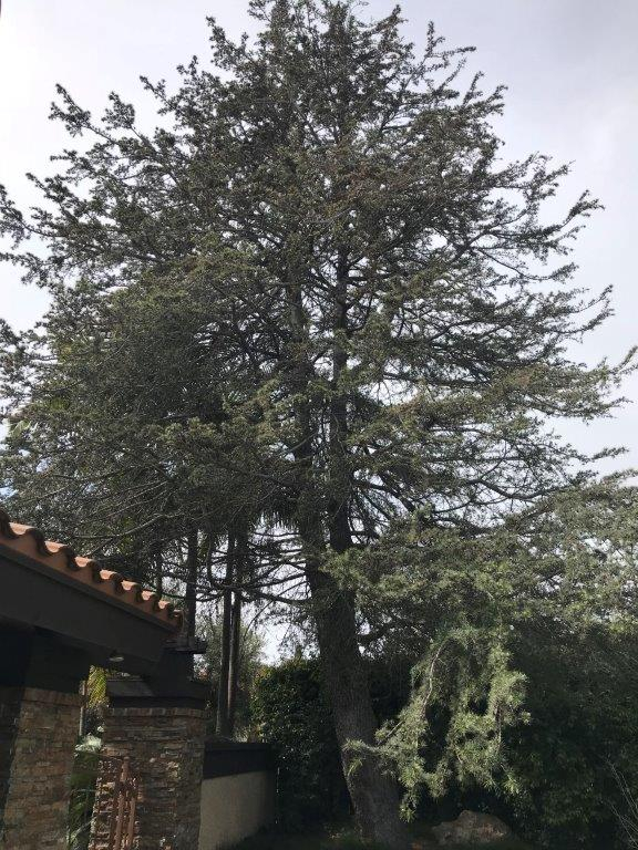 This deodar cedar is growing close to a home, but a talented arborist can trim it to reduce the hazard it may present to the structure. (Photo by Bonnie Jorgensen)