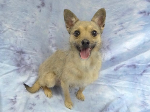 Oscar is a 3-year-old male terrier mix available from spcaLA's Pico Rivera location. (Courtesy photo)