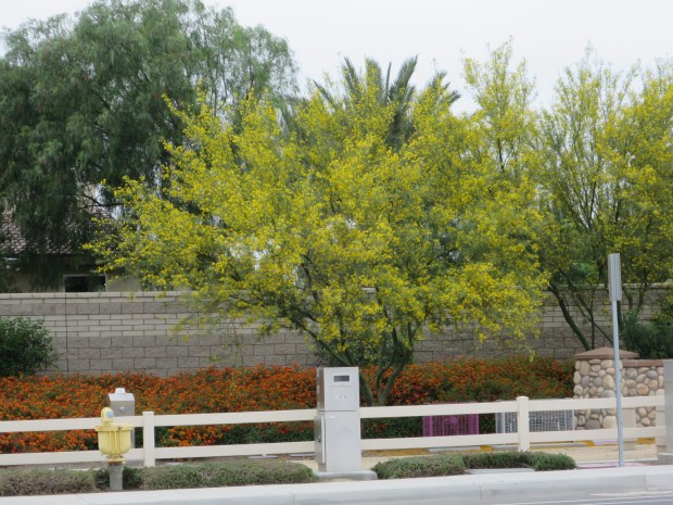 "The Palo Verde, long a popular tree in desert landscapes, has seen increased popularity in Southern California as water supplies have decreased. (Ottillia ""Toots"" Bier, Contributing Photographer)"