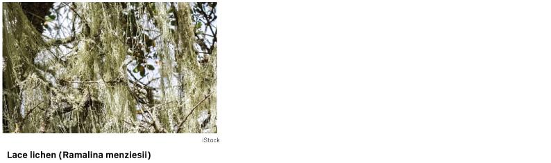state lichen