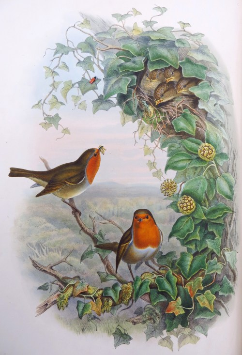A Christmas Robin From John Goulds Birds Of Great
