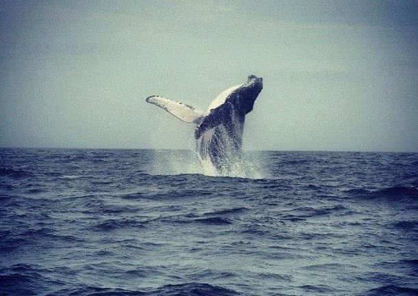 avvistamento delle balene in Ecuador