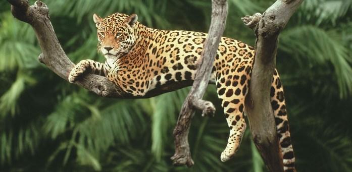 giaguari, puma e tante altre specie animali popolano il Parco Chiribiquete nella Foresta Amazzonica Colombiana
