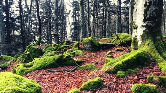 Faggeta di Campigna Parco Foreste Casentinesi Foresta Vetusta patrimonio UNESCO