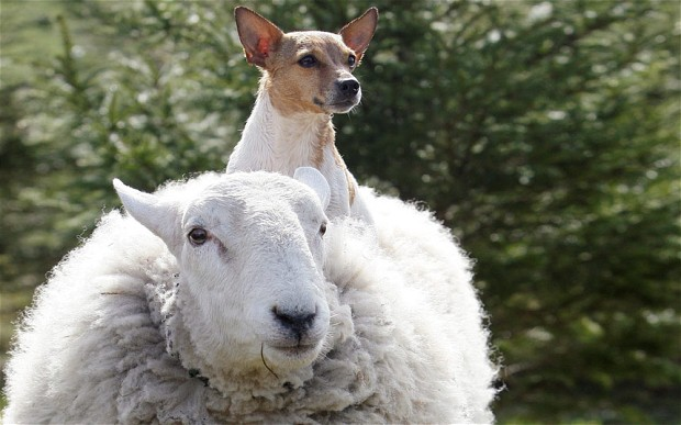 sheep-dog_2544864b