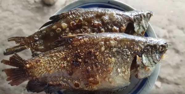 U Minh dry snakeskin gournami