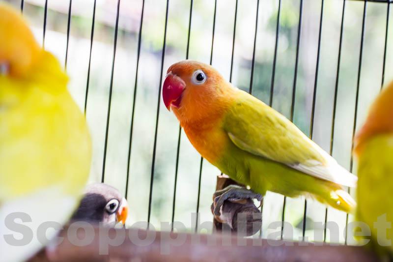 LoveBird-Pasar Burung Malang-8924