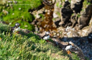 Photo of Three puffins on a ledge