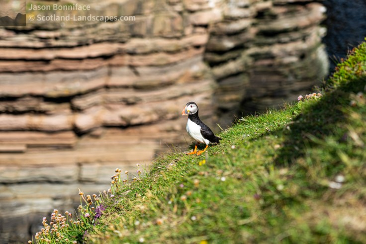 Just another puffin