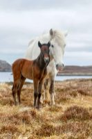 Eriskay Ponies near Lochboisdale, South Uist, Outer Hebrides.
