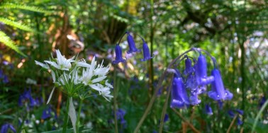 Ramsons and bluebells in an Atlantic hazelwood