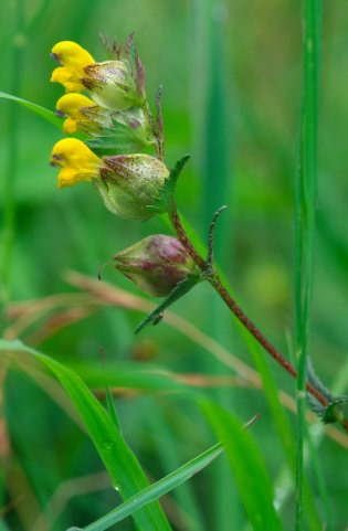 Yellow rattle at Weem Meadow. ©Lorne Gill/SNH