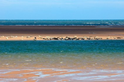Grey and Common Seals hauled out on sand bars at Tentsmuir NNR. ©Lorne Gill/SNH