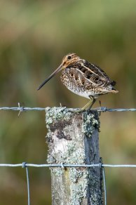 Snipe. © Lorne Gill/SNH