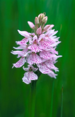 Heath spotted orchid. © Lorne Gill/SNH