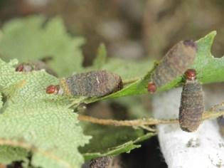 Pot beetle larvae. © Ross Piper