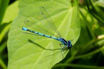 Azure Damselfly - a very common blue damsel