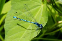 Azure Damselfly - a very common blue damsel