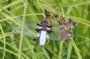 Broad-bodied chaser - male shown here, the female has an orange body