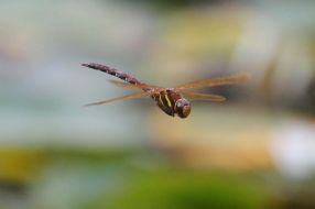 Brown Hawker - the brown wings are a diagnostic feature
