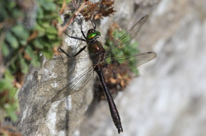 Downy Emerald - similar to the Brilliant emerald but with a browner body and a hairier thorax