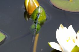 Red-eyed damselfy - the female is almost completely submerged whilst egg laying