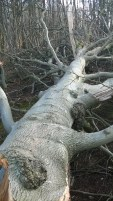 This is one limb of the Beech, a sizable tree in its own right!