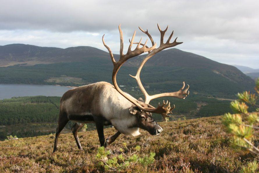 Meet the Animals in Scotland - Highland Cow, Shetland Pony, Red Deer, Lambs & Reindeer