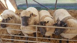 Visiting Doonies Farm in Aberdeen with Kids