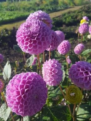 Fresh flowers in the Walled Garden