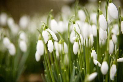Scottish Snowdrop Festival 2020