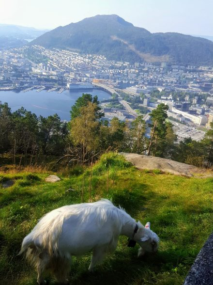 Meeting the goats of Bergen