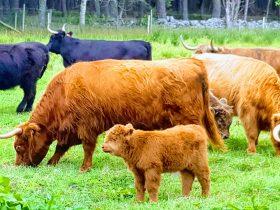 Where to meet Highland Cows