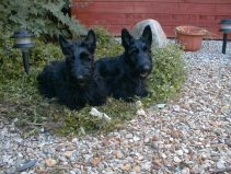 Bobby and Finlay as puppies