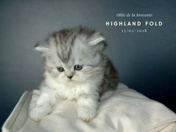 femelle highland fold de la brocante