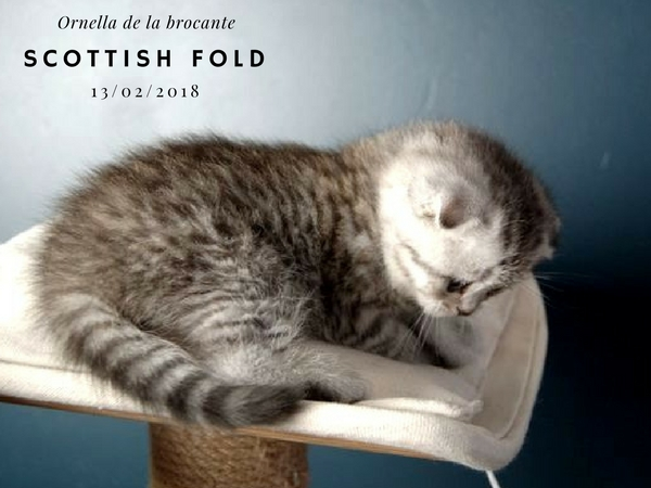 chaton scottish fold femelle