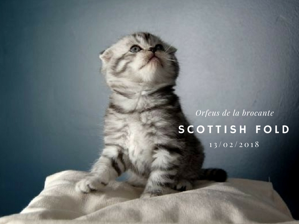 Scottish fold femelle chaton