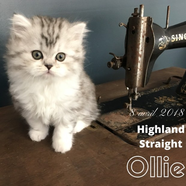 chaton highland straight Ollie