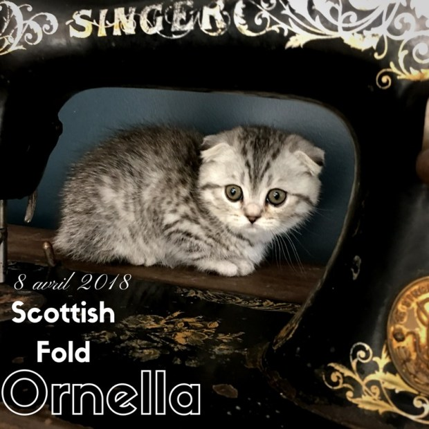chaton scottish fold ornella