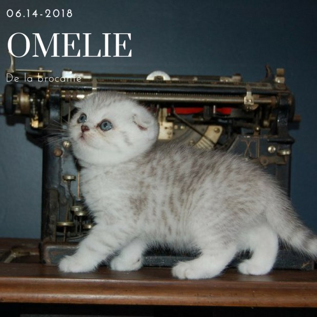 scottish fold omelie
