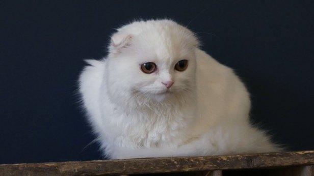 scottish-fold-blanc