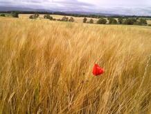 farmton2010_organic-barley
